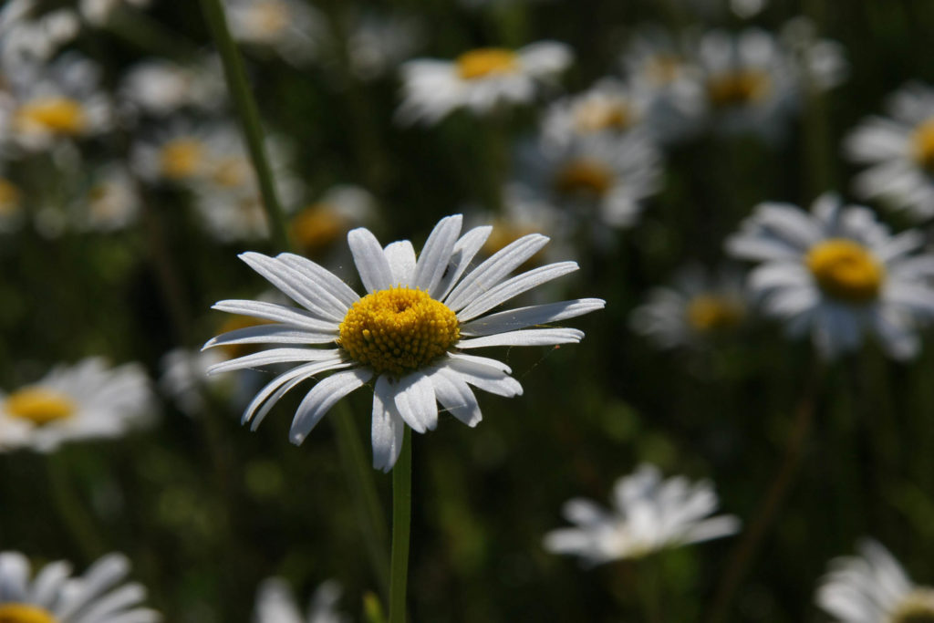 Een scherpe bloem, omringt door wazige bloemen. Symboliseert de oriëntatie (Foscus), één van de basis-technieken van de Davis-methode.